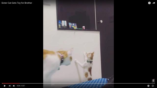 「お姉ちゃんにまかせニャさい」弟猫の欲しがるおもちゃをとってあげる姉猫が優しすぎる〜