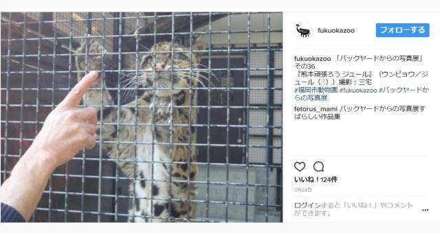 【熊本地震から1年】熊本から福岡市動物園にやってきたウンピョウ / 避難当時や現在の様子などお話を聞けるイベントが開催されます