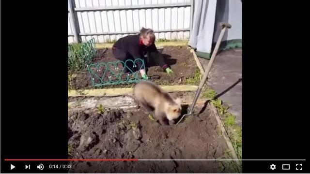 【おそロシア】子グマが庭にやってきたのでおばあさんと一緒に庭仕事♪ …と言っている場合じゃないよ!