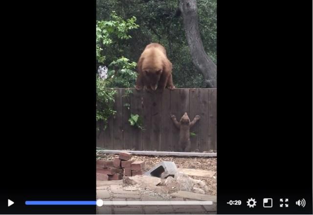 「ママ、待って~!」高い塀をよじ登ろうと奮闘する子グマたん / ちっちゃな体で無事に難題をクリアできるのか!?