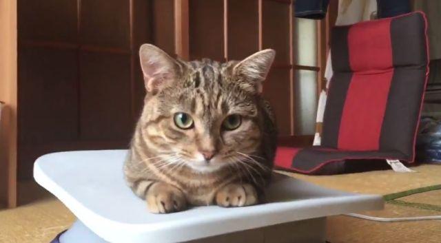 【荒ぶる】夏までに頑張ってダイエットするニャ! サーファーのようにフィットネスマシンを乗りこなす猫ちゃん