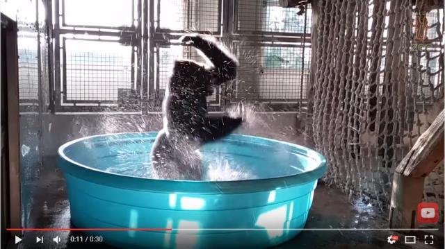 【ダンスが得意なフレンズ】ゴリラをプールに入れると…めっちゃアグレッシブな踊りを披露してくれました
