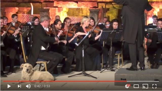 【なぜだ】クラシックコンサートの飛び入りゲストは…まさかの「犬」! オーケストラの演奏中にゆ~っくりステージ上をお散歩してます
