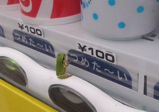 カルピスが飲みたいケロ…すごくカルピスを飲みたそうにしているカエルが激写されたよ / 自販機にへばりつく姿がかわいすぎっ!