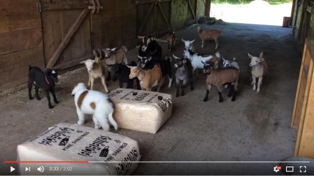 大勢の子ヤギたちが暮らす農場に子犬がやってきた! 最初に親友になったのは真っ黒な子ヤギさんでした