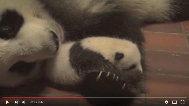 パンダの名付け親になれるチャンス! 上野動物園のパンダの赤ちゃんが名前を募集しているよ〜