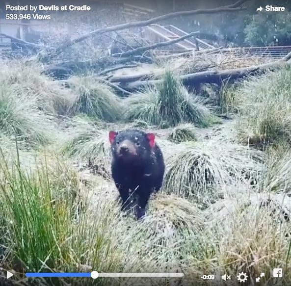【体は小熊、歩き方はネズミ】雪の日を楽しむタスマニアンデビルが名前に似合わずまったく邪悪じゃなかった件