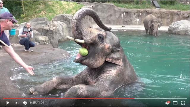 夏休みの少年みたいなゾウが目撃される「プールきもちー! スイカおいしー!」水遊びを思いっきり楽しむ様子をご覧ください