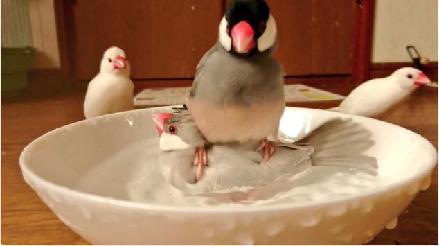 「違う、そこじゃない」 水浴び好きの文鳥さんが着地場所を間違えてしまったようです