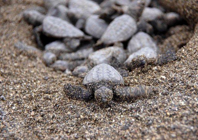 砂の中から55匹も出てきたよ! 鴨川シーワールドに保護されていたアカウミガメの赤ちゃんが誕生しました