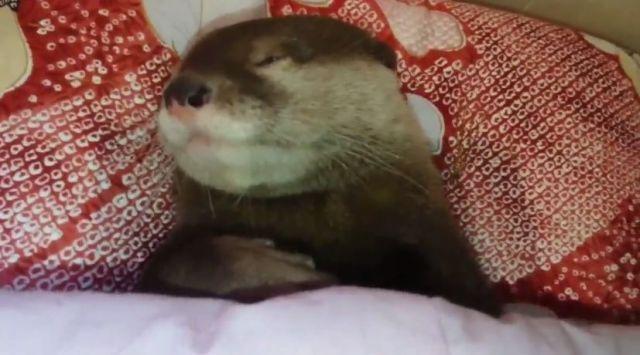 【スヤァ…】お行儀よくお布団で寝るコツメカワウソが激カワっ♡ めちゃめちゃ寝相がよくてまるで人間みたいです