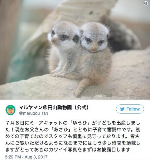 【地上に舞い降りた天使】ミーアキャットの赤ちゃんが札幌市円山動物園で生まれたよ~♪ ちっこくって愛くるしい姿にズキュン