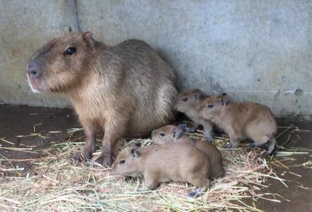 伊豆シャボテン動物公園にカピバラの赤ちゃんが誕生したよ / カピバラファミリーは合計11頭になりました♪
