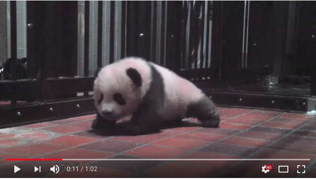 【上野動物園】赤ちゃんパンダのシャンシャンがヨチヨチ歩いておる…! ささくれだった心が瞬時に癒されます♪