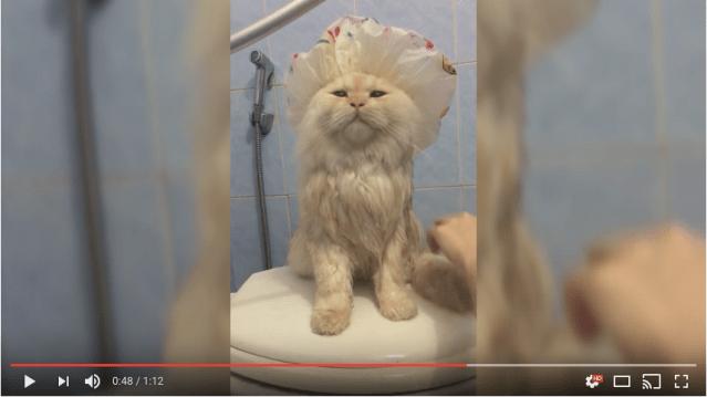 ニャンコだけどお風呂が大好き! おしゃれなシャワーキャップをかぶって優しく洗ってもらうのがたまらんニャ
