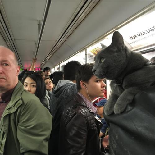 飼い主の肩にのるのが大好きなニャンコさん! NYの地下鉄でも全く動じませぬ