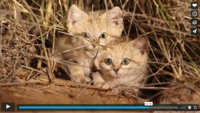 【かわいすぎる貴重映像】野生のスナネコが発見される! しかもちっちゃな子猫ちゃんたちだお!
