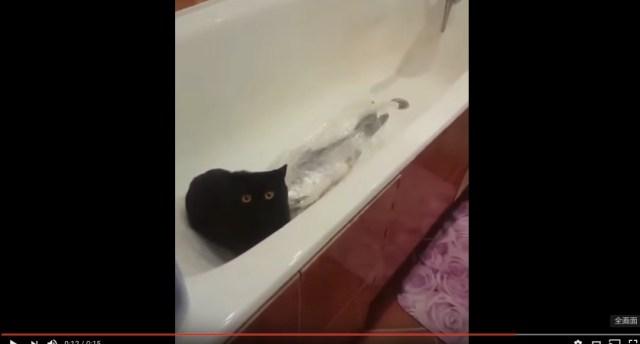 【ミステリー】犯人は猫!? 巨大な魚を買って来たのに見当たらない → バスタブに行ってみると…!