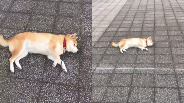 散歩中にゴロンと寝転んだ柴犬を置いて少しずつ離れてみると…起きあがったと思ったら即寝ちゃったよ!