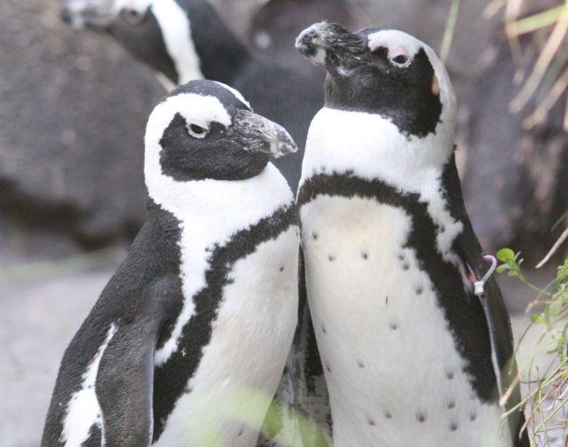「ペンギンは夫婦になると一生添い遂げる」にあやかった婚姻届がサンシャイン水族館から登場 / ラブラブなケープペンギンが描かれています