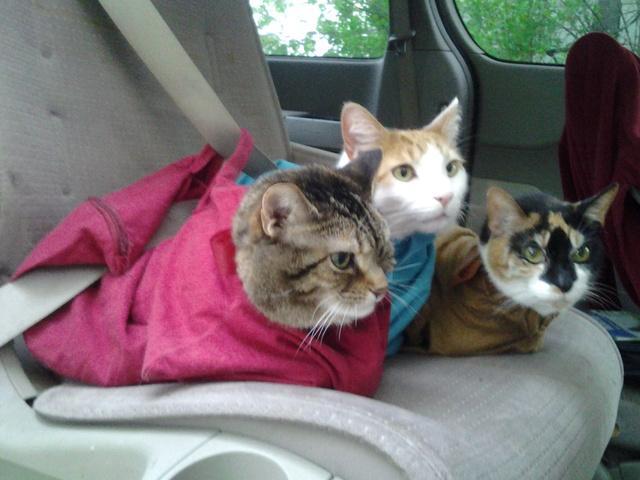 【猫飼いさんに】猫が落ち着くキャリーバッグ「ネコのお守り袋」が便利そう / 通院や災害、瓜切りのときにも役立つよ!
