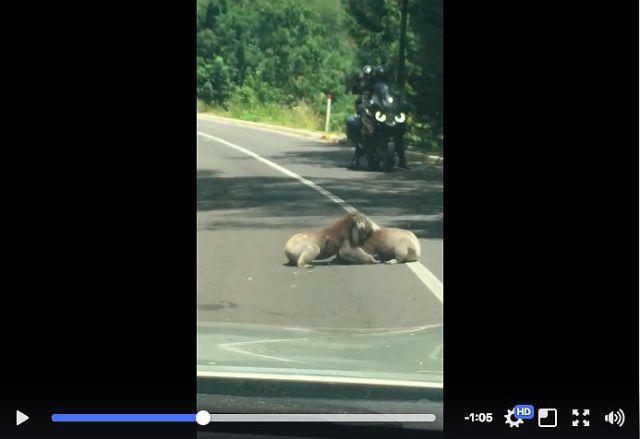 道路のど真ん中で2匹のコアラがガチバトル! 転げまわって取っ組み合いのケンカをしています