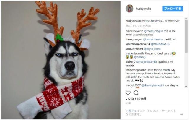 【ブチギレ】「おい、人間よ」トナカイの仮装をしたハスキー犬がめっちゃ不機嫌になるの巻