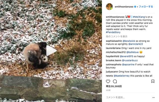「わ~い♪ ゆきうれしい♪」雪が降る中ごろんごろん転がって喜びを爆発させるパンダちゃん / 可愛すぎてエンドレスリピート必至です