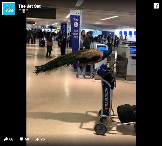 空港に生きているクジャクが現れた! いっしょに 飛行機に乗ろうとしたけど…さすがに無理でした