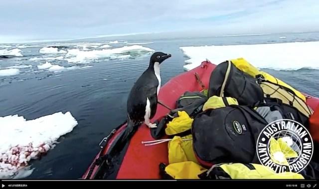 南極調査隊のボートにペンギンが飛び乗ってきた! 海の中からドボンと飛び乗る身体能力にもびっくりです
