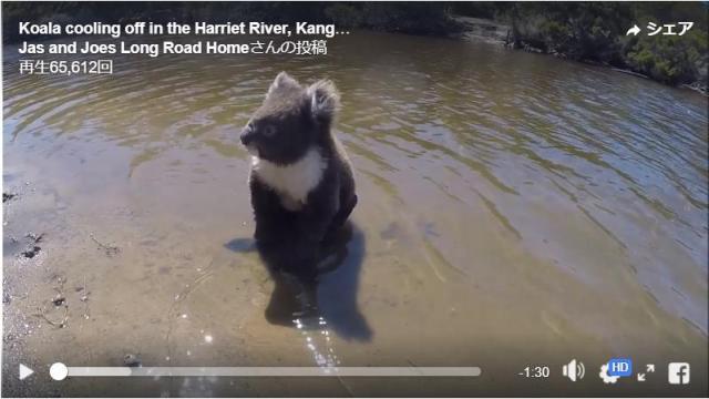 【地味に衝撃動画】なんと…コアラは泳げる! 犬かきみたいにバシャバシャ泳ぐ姿が目撃された動画がコチラです