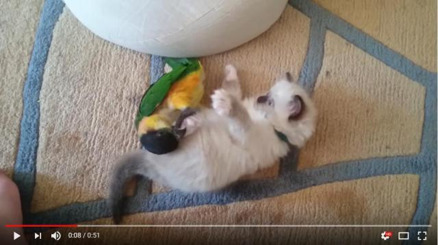 """子猫と鳥さんが """"もふもふレスリング"""" を開始しちゃったよっ! 我々観客が即キュン死にします"""