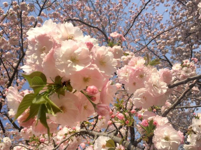 【お花見難民に朗報】今がベストシーズン!「新宿御苑」の八重桜が満開です♡