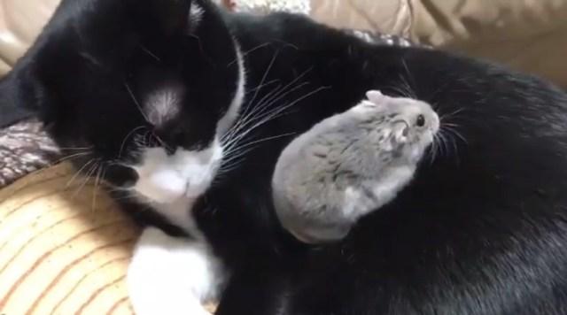 【けしからん】猫がハムスターにだいしゅきホールド! ハムスターが猫のお腹でスヤーするまでの動画に世界が悶絶です
