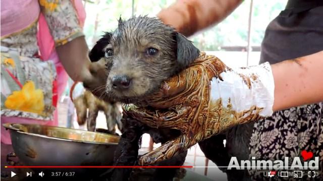 【絶体絶命】全身タールまみれで地面に固まってしまった子犬たち…キレイにするまで3日間もかかりました