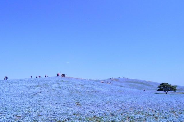 【急げ!】GW観光地として人気の茨城県国営ひたち海浜公園「ネモフィラ」の花畑がすでに見頃を迎えているよおおお!