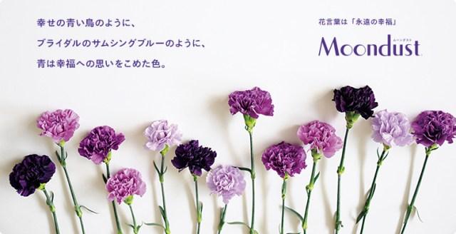 母の日のプレゼントに神秘的な青いカーネーション「ムーンダスト」はいかが? 花言葉は「永遠の幸福」です