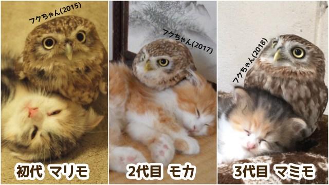 【尊い】フクロウが3世代に渡って猫とモフり合う関係に…! 面倒見がいいフクちゃんと猫たちの歴史をふりかえってみたよ