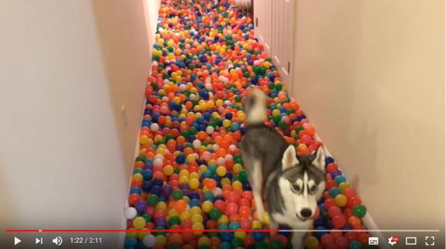 愛犬のために廊下を「ボールプール」にしてみた結果…ワンコのテンション爆上げに! はしゃぐ姿にこっちまでハッピーになります