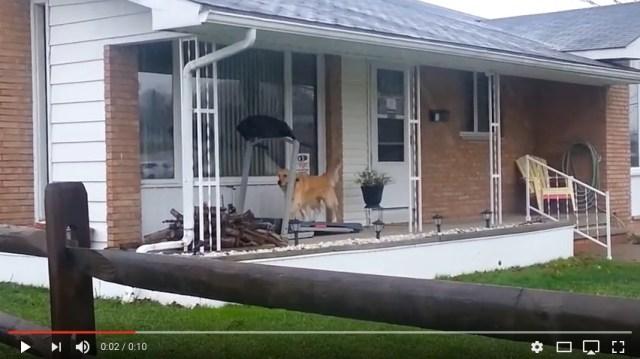 「雨なので散歩はけっこうですワン」軒下のランニングマシーンで雨に濡れずに体を動かすワンコをご覧あれ☆