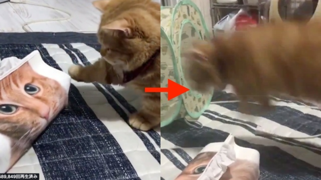 怖がりなニャンコが猫柄のティッシュボックスに近づいた瞬間…「う、動いたにゃぁああ!」とびっくりジャンプが止まらない!