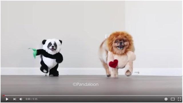 【こんなん笑う】飛び跳ねながら迫りくるライオン犬とパンダ犬! 可愛すぎて思わず何度も再生してしまう、癒やしのワンコ動画がこちらです☆