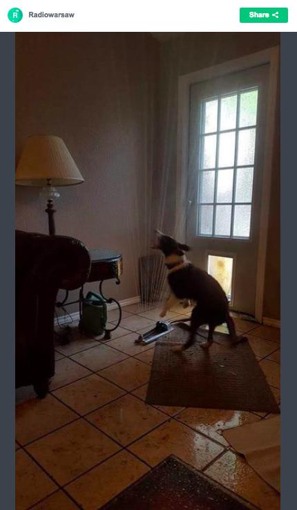 「猛暑だからお家を涼しくするワン」 ワンコが庭に置いてあったスプリンクラーを家の中に引っ張り込んじゃいました