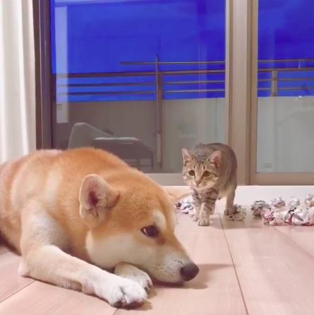 遊びたいニャンコ×遊ばれたいワンコ! 絶妙な距離感がたまらん…なかよし犬猫兄弟のじゃれあい動画