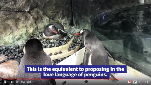 【水族館公認】ペンギンの同性カップルによる巣作り行動が微笑ましい…ふたり仲良く卵をせっせと温めています