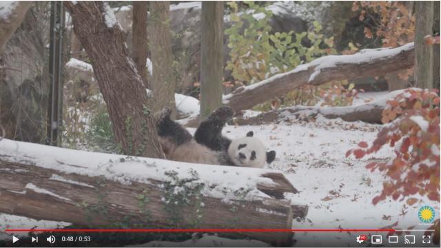 雪に喜ぶパンダが可愛すぎて萌え尽きそぉお! ごろんごろんと転がって満足げな表情なのです★