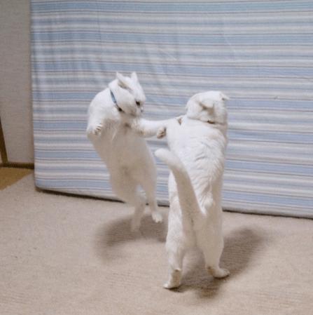 【ファイッ!!】ケンカするほど仲が良い「白猫ちゃんズ」を発見! 飛び蹴り・噛みつき・猫パンチとなんでもありです!?