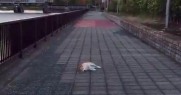 【まさかの展開】「帰りたくない!」道端で横になっちゃう柴犬、もし飼い主がマネしたらどうなる → 秒で飛んできた!!