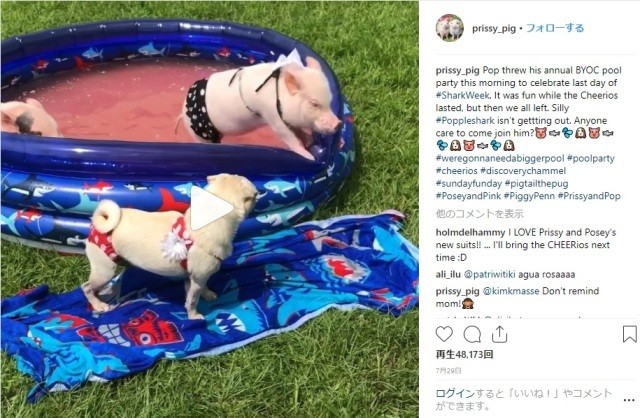 【メロメロ】ビキニ姿でプールに入るブタさん&パグの動画が可愛すぎるーっ!! こんなんリアル「ベイブ」の世界でしょ!