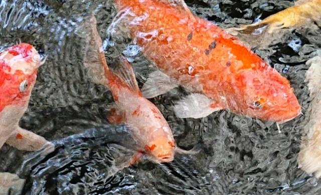 【コイだけに】目がハートマークの鯉が発見され話題に! 伊勢神宮などとあわせて三重の恋愛パワースポットになりそう♡